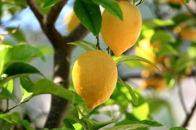 lemons, orchard of lemons